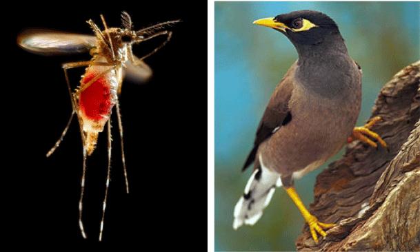bird-mozzie